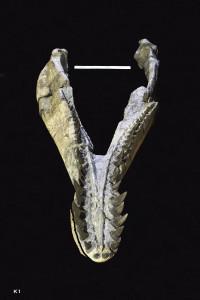 Animalia>Chordata>Vertebrata>Gnathostomata>Tetrapoda>Reptilia>Sauropterygia>Pliosauridae>Pliosaurus