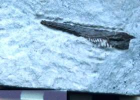 Animalia>Chordata>Vertebrata>Gnathostomata>Osteichthyes>Actinopterygii>Neopterygii>Teleostei>Aspidorhynchidae