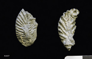 Animalia>Mollusca>Bivalvia>Autobranchia>Pteriomorphia>Ostreiformii>Ostreida>Ostreidina>Ostreoidea>Ostreidae>Lophinae>Lopha