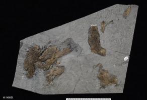 Animalia>Chordata>Vertebrata>Gnathostomata>Sarcopterygii>Coelacanthimorpha>Actinistia>Coelacanthiformes>Coelacanthidae>Coelacanthus>Coelacanth