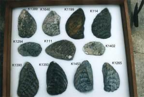 Animalia>Mollusca>Bivalvia>Trigoniida>Trigonioidea>Trigoniidae