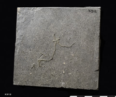 Animalia>Echinodermata>Asterozoa>Ophiuroidea