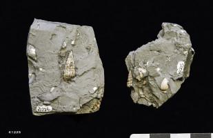 Animalia>Mollusca>Gastropoda>Sorbeoconcha>Cerithioidea>Procerithiidae>Procerithium