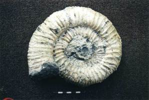 Animalia>Mollusca>Cephalopoda>Ammonoidea>Ammonitida>Crussoliceras>Crussoliceras sevogodense