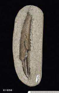 Animalia>Chordata>Vertebrata>Gnathostomata>Chondrichthyes>Elasmobranchii>Euselachii>Hybodontiformes>Hybodontoidea>Hybodontidae