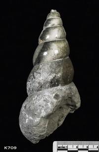 Animalia>Mollusca>Gastropoda>Prosobranchia>Caenogastropoda>Bourguetia>Bourguetia striata