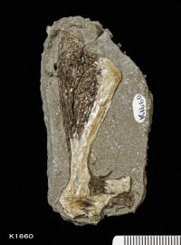 Animalia>Chordata>Vertebrata>Gnathostomata>Chondrichthyes>Elasmobranchii