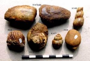 Animalia>Brachiopoda>Rhynchonelliformea>Rhynchonellata>Rhynchonellida>Rhynchonelloidea>Rhynchonellidae>Rhynchonellinae>Rhynchonella