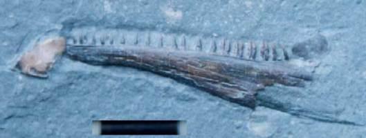 Animalia>Chordata>Vertebrata>Gnathostomata>Osteichthyes