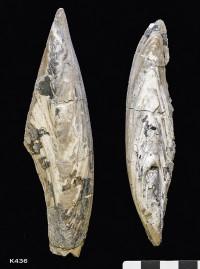 Animalia>Mollusca>Bivalvia>Autobranchia>Pteriomorphia>Ostreiformii>Ostreida>Malleidina>Pterioidea>Bakevelliidae>Gervillella