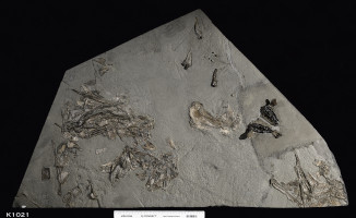 Animalia>Chordata>Vertebrata>Gnathostomata>Osteichthyes>Actinopterygii>Neopterygii>Pycnodontiformes>Pycnodontoidei>Pycnodontidae