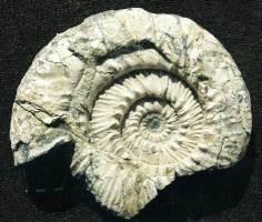 Animalia>Mollusca>Cephalopoda>Ammonoidea>Ammonitida>Perisphinctoidea>Aulacostephanidae>Aulacostephanus>Aulacostephanus kirghisensis