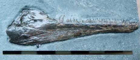 Animalia>Chordata>Vertebrata>Gnathostomata>Osteichthyes>Actinopterygii>Neopterygii>Holostei>Amiiformes>Caturidae>Caturus