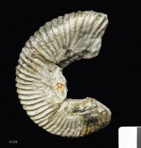 Animalia>Mollusca>Cephalopoda>Ammonoidea>Ammonitida>Perisphinctoidea>Aulacostephanidae>Aulacostephanus